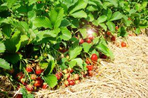 Erdbeeren-selber-pflücken-fotowettbewerb