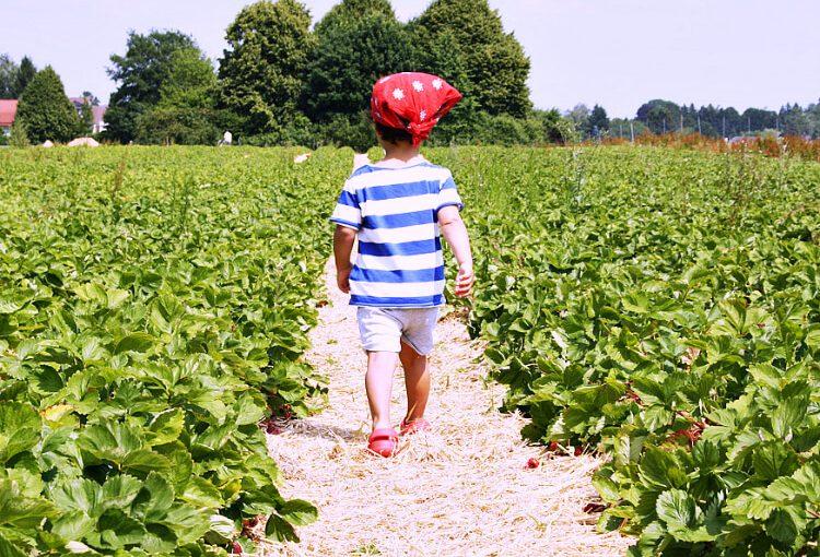 Erdbeeren_selber_pflücken