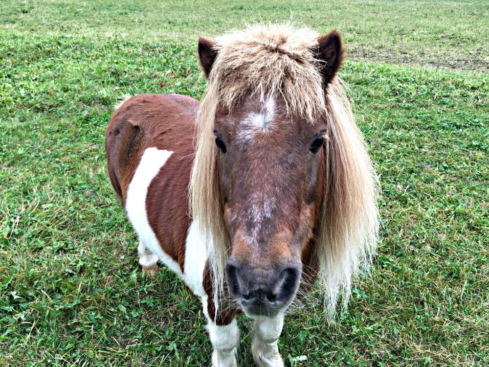 forsthofgut-pony