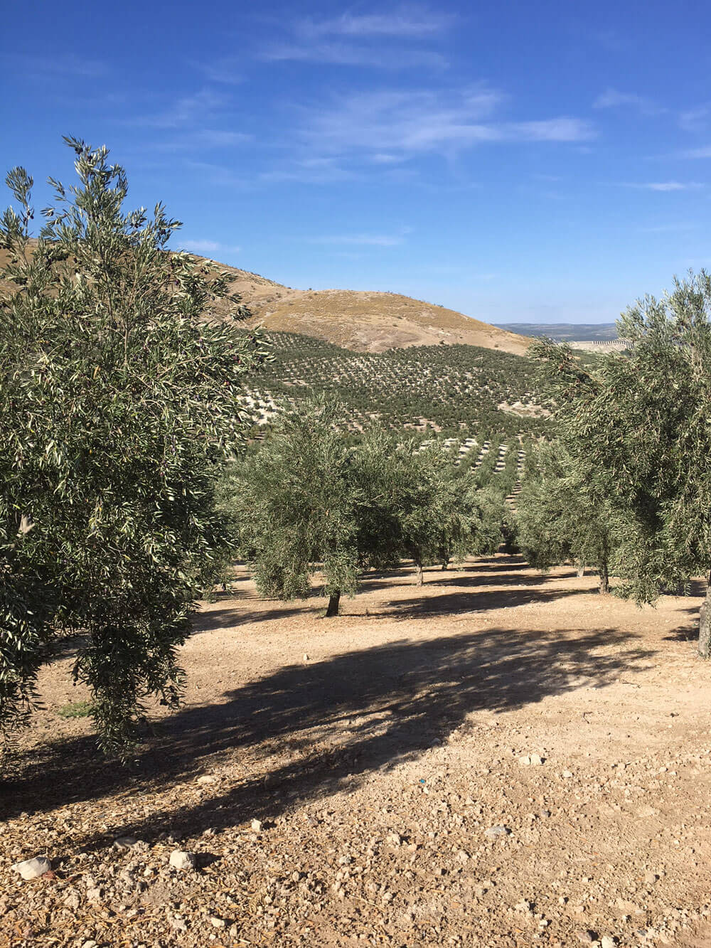Frauen in der Landwirtschaft. Mauritias Olivenöl Gut Cortijo dé Arevalo