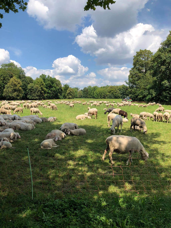 Schafe Englischer Garten Muenchen Cappu Mum