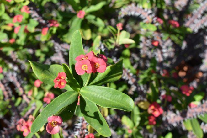 Flora auf Gran Canaria